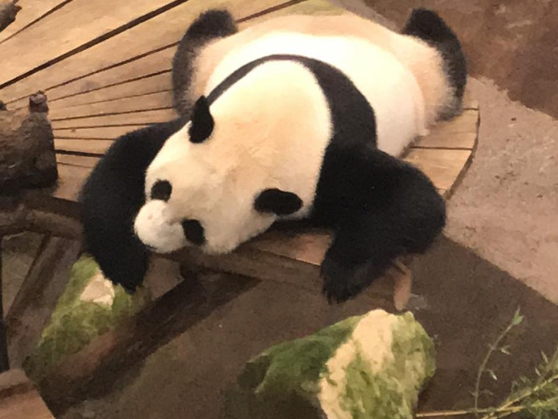 Roos ziet de panda in levenden lijve